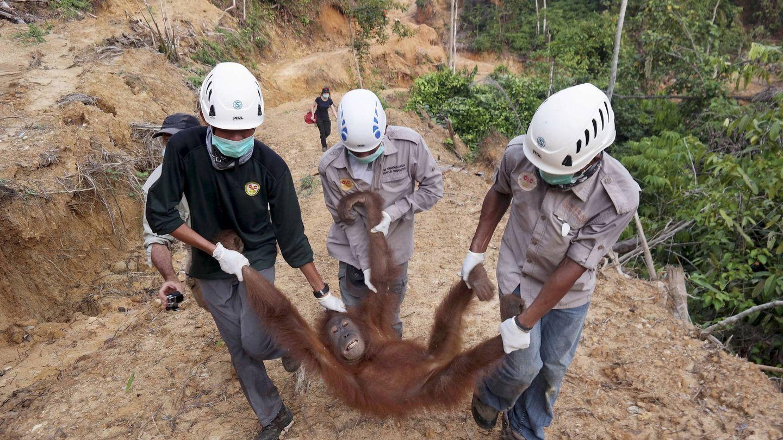 Conservacionistas rescatan a una hembra de orangután que había quedado aislada en una pantación de aceite de palma, en Langkat, Sumatra. (Reuters)