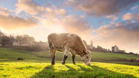 No hay hierba para el ganado. La carne ecológica española, en peligro