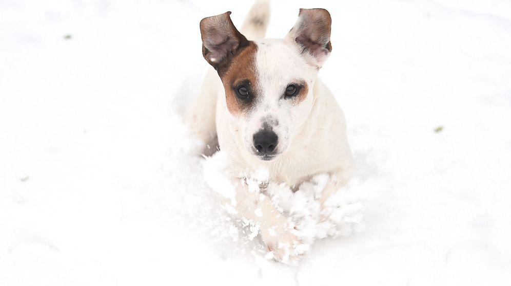 Foto: Macho, un Jack Russell Terrier como el de la imagen, demostró tener un olfato privilegiado (Reuters/Clodagh Kilcoyne)