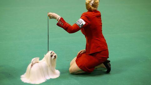 Los perros más excéntricos del mundo, reunidos en el Crufts Dog Show de Birmingham