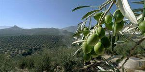 Foto: La caída en picado del precio del aceite de oliva dispara las exportaciones