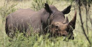 La caza furtiva fuerza a Sudáfrica a colocar GPS en sus rinocerontes