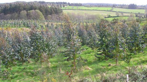 El veto al eucalipto en Galicia dispara su plantación