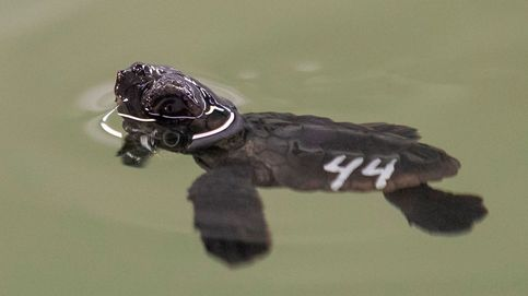 Crias de tortuga boba en San Pedro del Pinatar