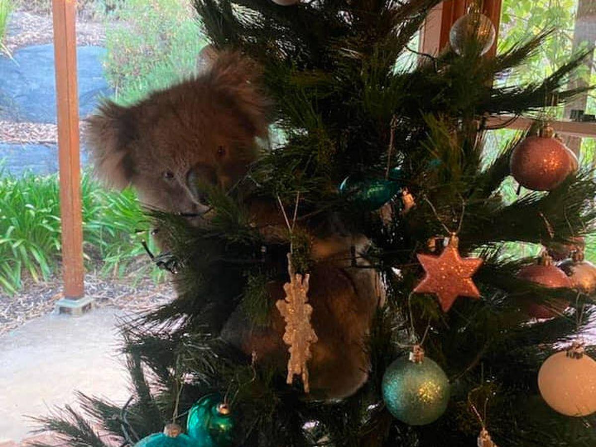 Foto: El koala confundió el árbol de Navidad con uno de verdad (Facebook)