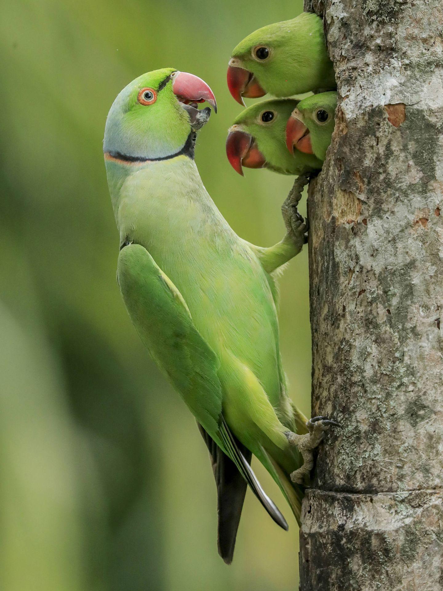 Una cotorra de Kramer alimenta a sus crías Gagana. (Mendis Wickramasinghe/Wildlife Photographer of the Year)