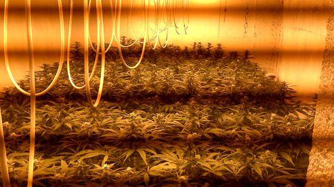 Localizan un cultivo con 232 plantas de marihuana en Almería