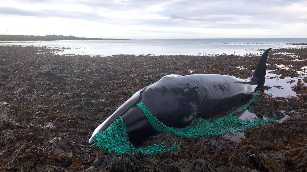 Foto: La red de pesca se enredó en sus barbas y le impidió nadar y comer libremente (Foto: Facebook)