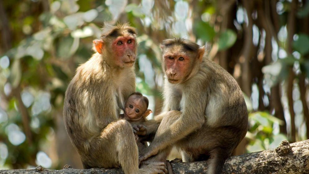 Foto: Tres ejemplares de mono Rhesus como los que se han usado en el experimento (Foto: Corbis)