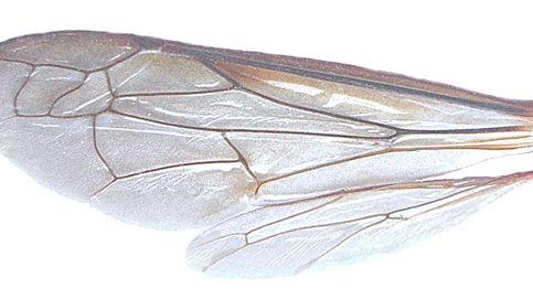Moscas, mosquitos, abejas... ¿sabes de qué insectos son estas alas?