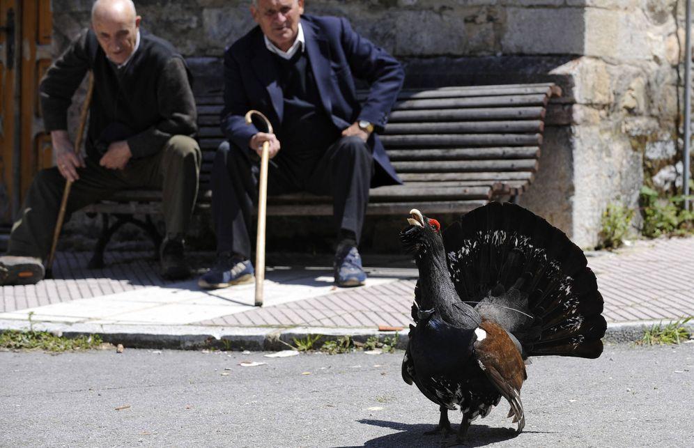 Foto: Vecinos de Tarna, en Asturias, contemplan a un urogallo macho, año 2008 (Reuters)