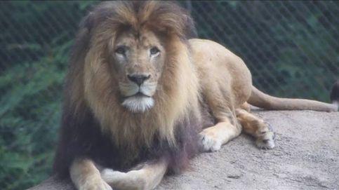 Una leona mata al padre de sus cachorros en un zoo de EEUU