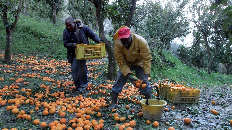 Foto: Inmigrantes africanos recogen naranjas en Rosarno (EFE)