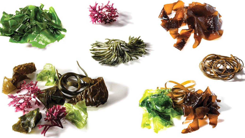Foto: De izquierda a derecha, diferentes tipos de algas: wakame (en el margen superior izquierda y derecho), mastocarpus, codium, mensal, ensalada y espagueti de mar.