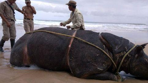 Localizan muerto a un rinoceronte de Java