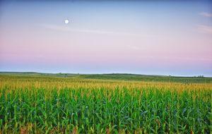 Este maíz transgénico español salvará millones de vidas en África (si le dejan)
