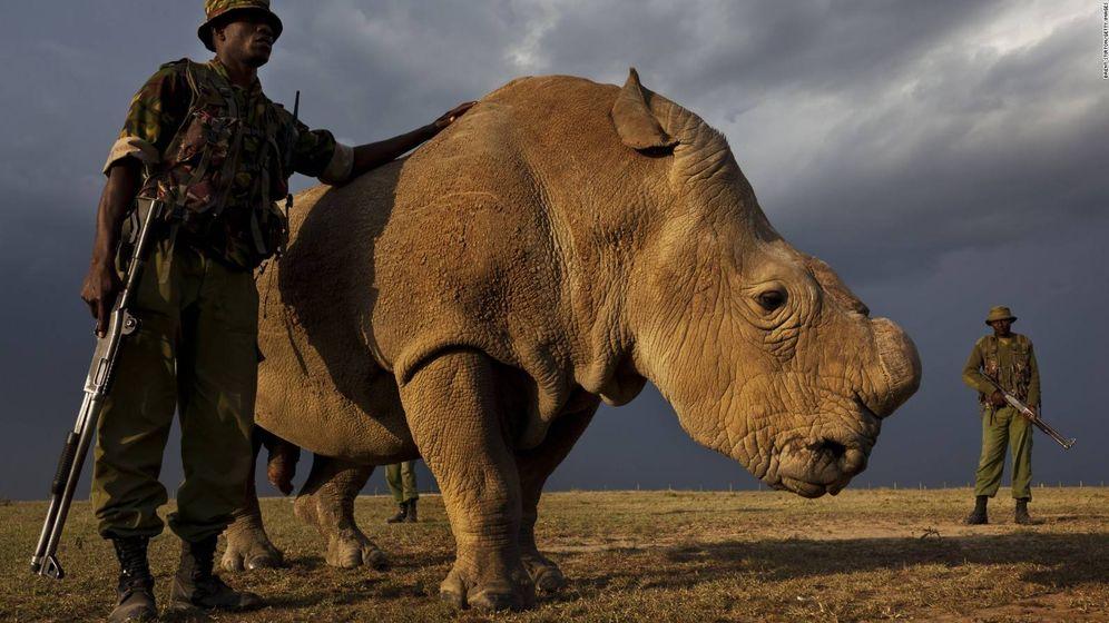 Foto: Sudán, el último macho de rinoceronte blanco del norte, vive custodiado por guardias armados 24 horas al día