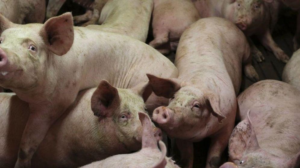 El embrión-quimera: los cerdos que se convertirán en los donantes ...