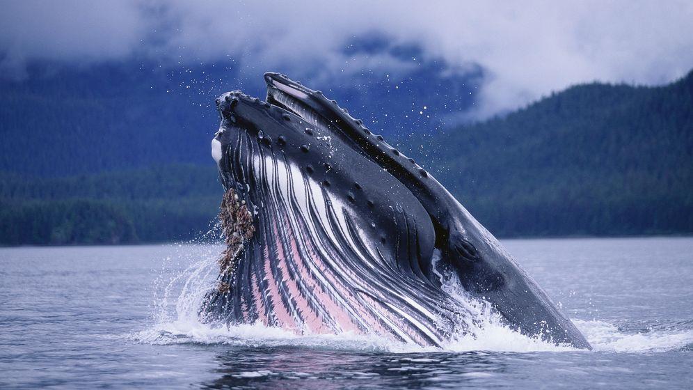Foto: Una ballena jorobada se alimenta cerca de Alaska (Souders/CORBIS)
