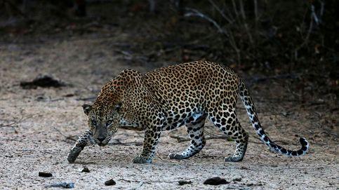 Un leopardo en Sri Lanka