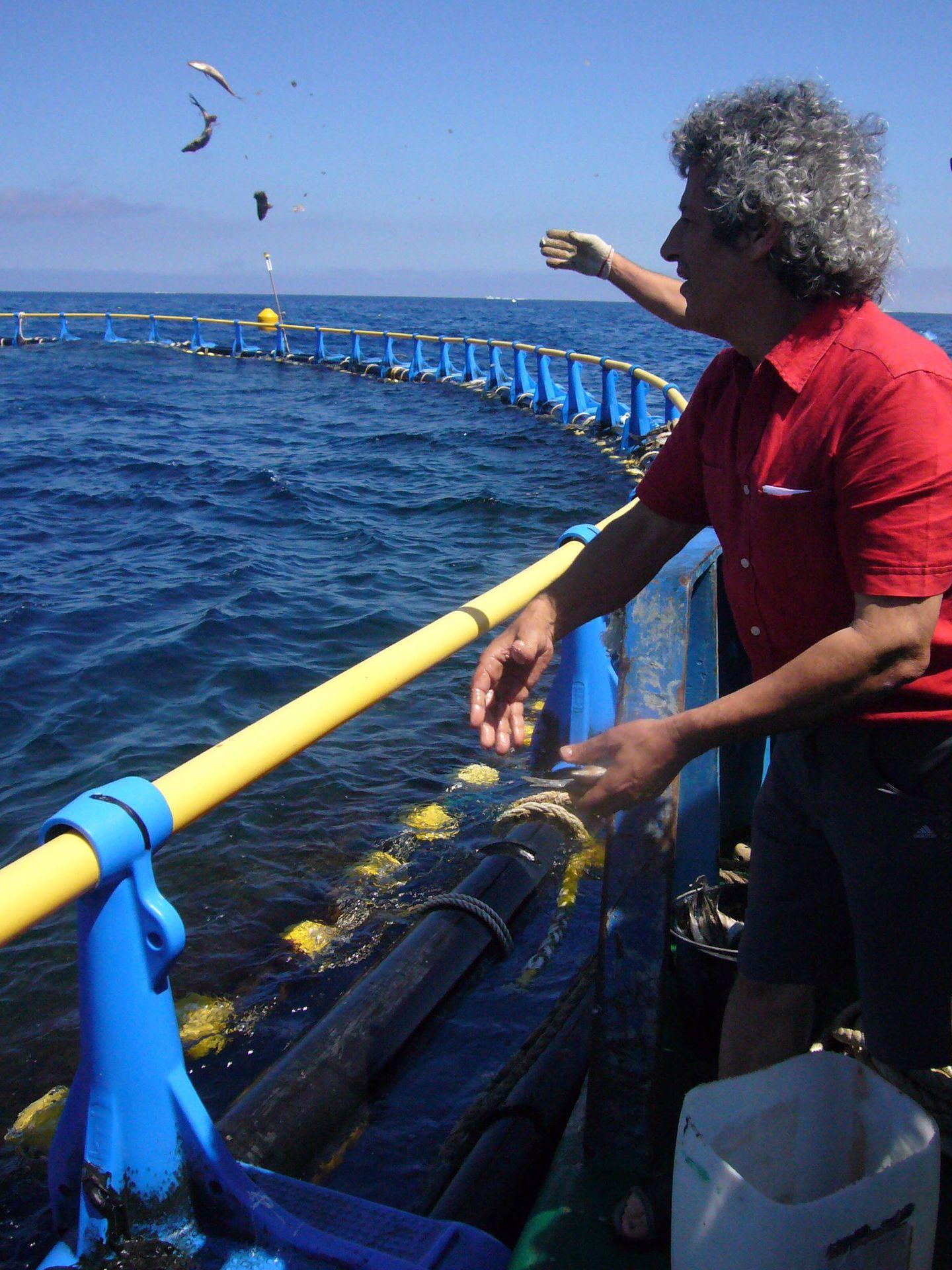 El empresario maltés Charles Azzopardi alimenta a mano a sus atunes en una jaula, un gesto para los reporteros. (M. García Rey, ICIJ)