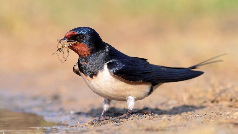 La golondrina común es otra de las especies en retroceso (Foto: SEO/Birdlife)