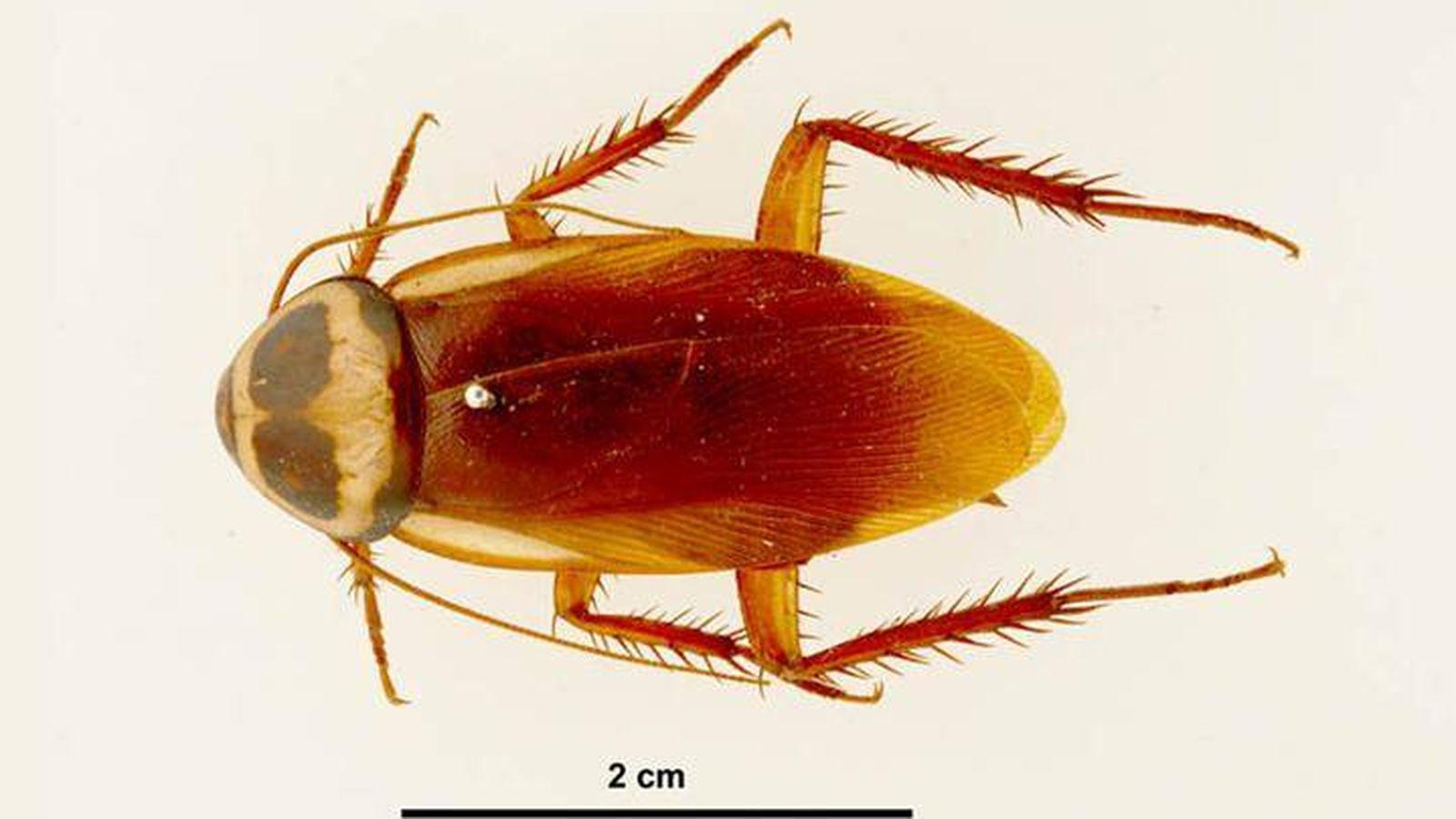 Foto: Cucaracha australiana.