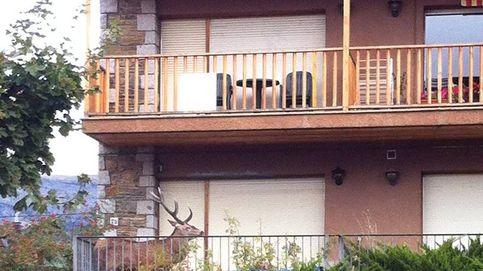 Un ciervo se refugia en un balcón de Llívia (Gerona) huyendo de los cazadores