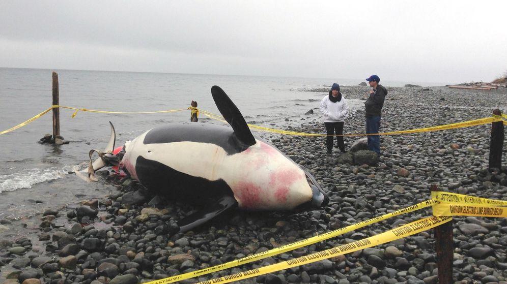 Foto: Una orca embarazada y muerta en Courtenay, Columbia Británica (Reuters)