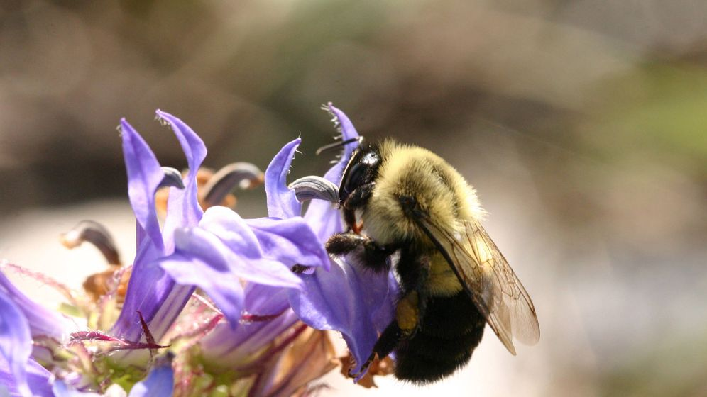 Foto: Una abeja se alimenta y poliniza una flor salvaje en Ontario, Canadá, uno de los lugares donde se han analizado la dinámicas temporales de selección natural (Catherine Walsh)