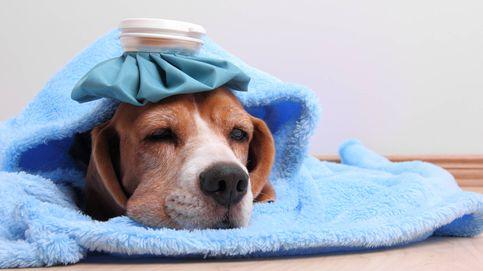 Sí, tu perro también puede resfriarse: cómo evitar que lo pase mal en invierno