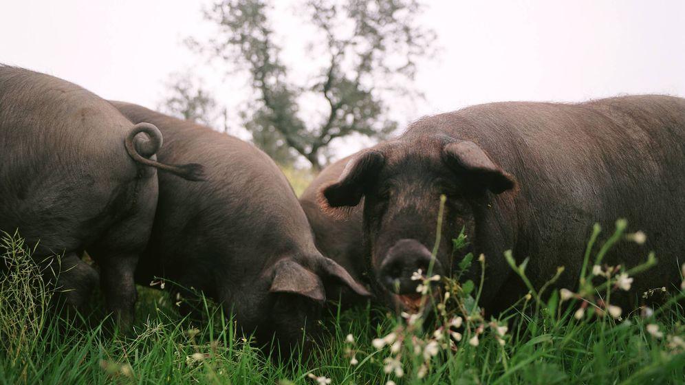 Foto: Cerdos ibéricos en una dehesa. (DO Jabugo)