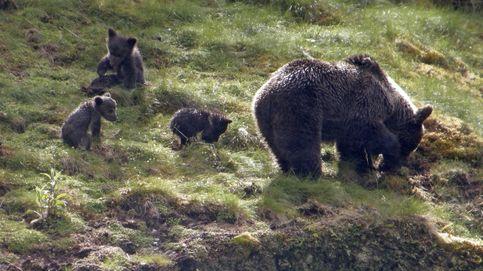 La histórica recuperación del oso pardo en un libro de descarga gratuita