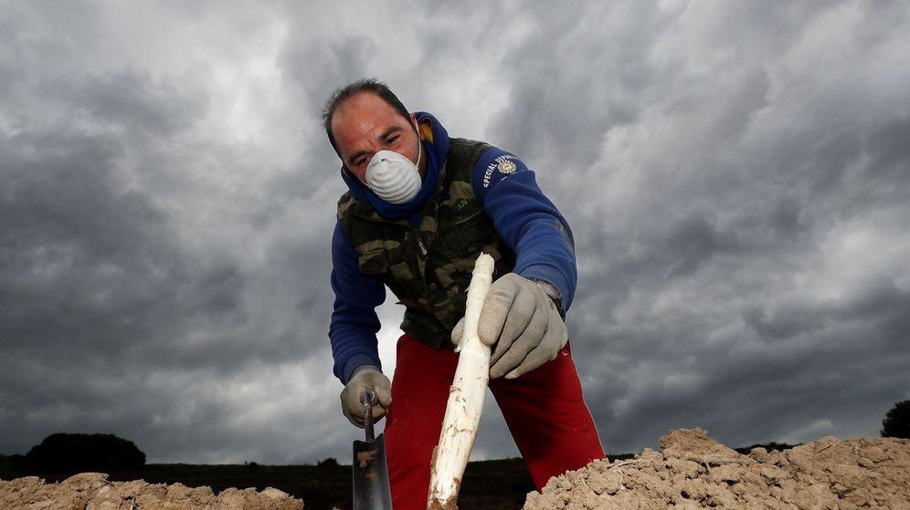 Foto: Los agricultores navarros han iniciado la campaña de recogida del espárrago, marcada por el uso de mascarillas y otras medidas de seguridad. (EFE)