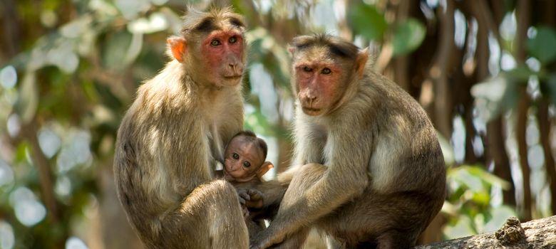 Foto: Tres ejemplares de mono Rhesus. (Corbis)