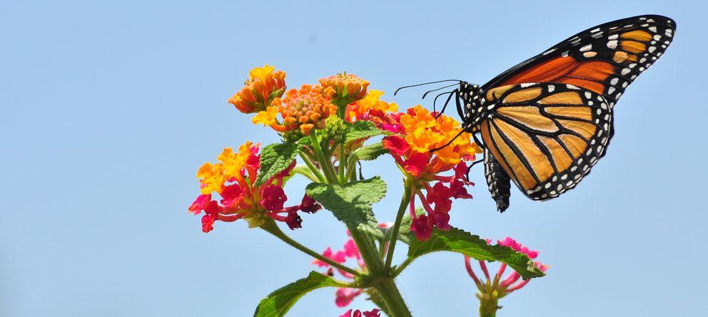 Foto: Las alas de las mariposas inspiran una goma que cambia de color cuando se estira