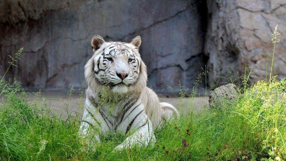 Un tigre blanco mata a un cuidador de su zoo en Japón de un zarpazo en el cuello