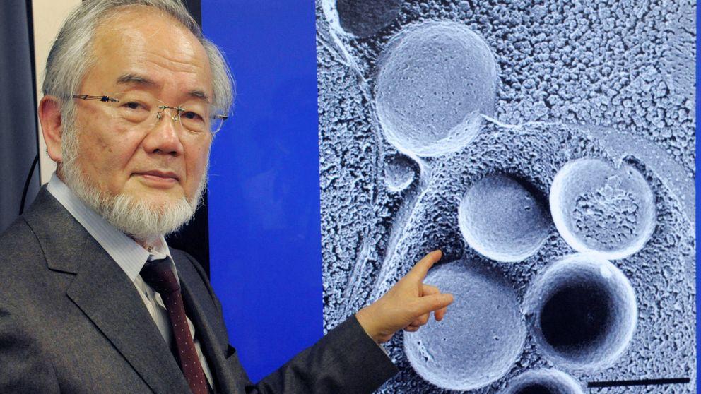 Nobel de Medicina por descubrir cómo las células se comen a sí mismas