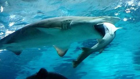 Un tiburón devora a otro en Seúl ante la atenta mirada de los clientes del acuario