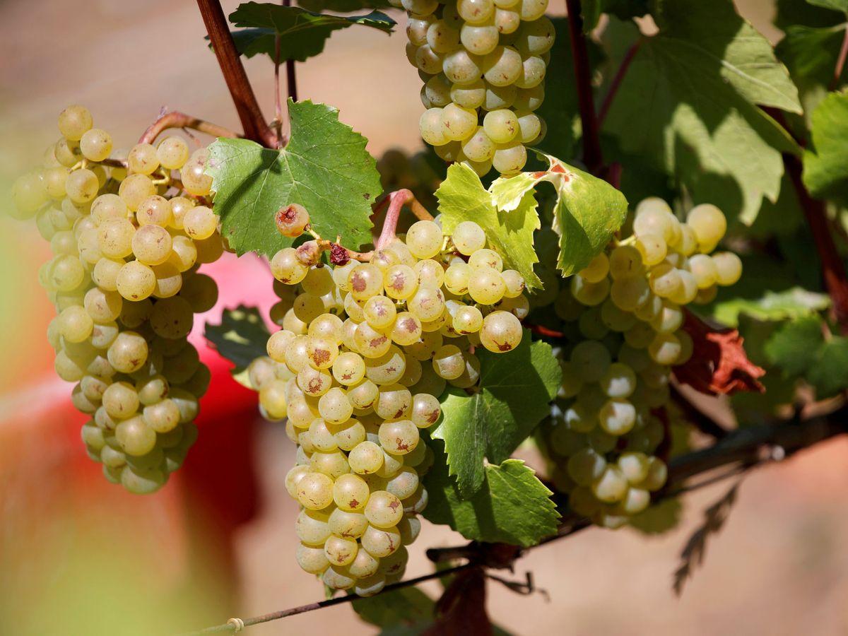 Foto: Alvinesa elabora sus productos a partir de la uva. (Reuters)