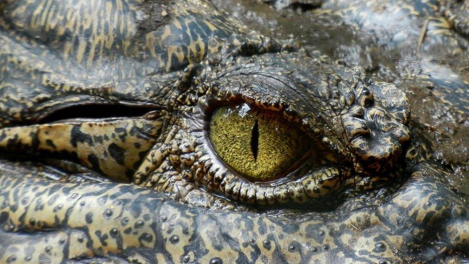 Las lágrimas de cocodrilo se parecen mucho a las humanas