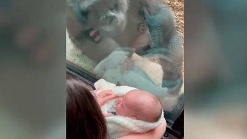 La entrañable presentación de un bebé humano a un gorila y su reacción