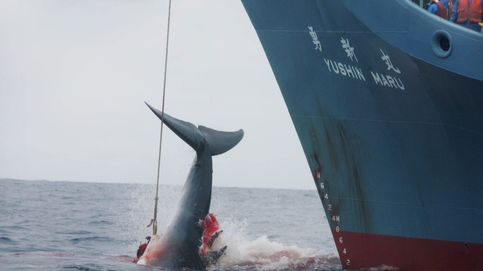 Japón anuncia oficialmente que volverá a la caza comercial de ballenas en 2019