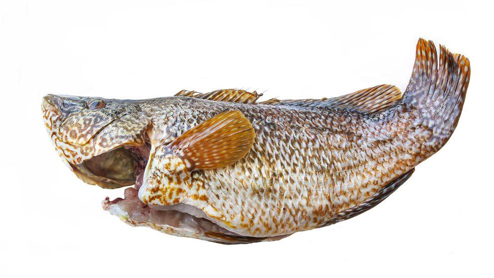 La maragota: el pescado hermafrodita que puede vivir hasta los 22 años