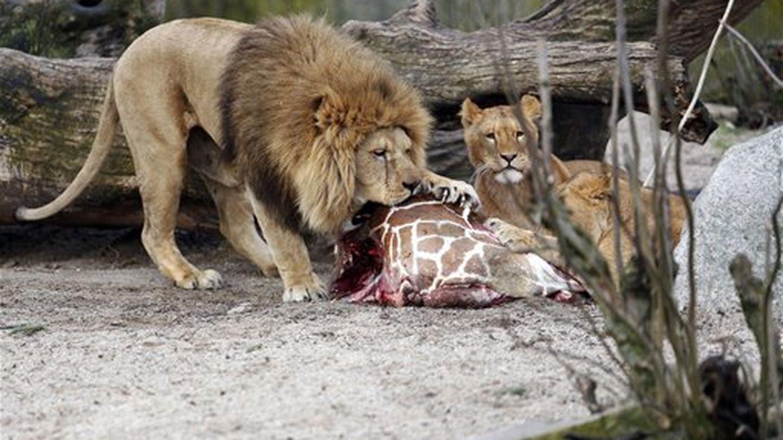 Los restos de la jirafa sacrificada sirvieron de alimento para los leones.