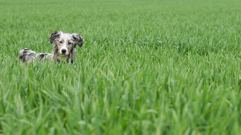 Foto: Los perros más jóvenes comen más hierba que los mayores, según los investigadores. (Pixabay)