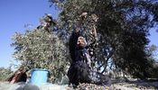 Noticia de Cosecha de odio en los olivares palestinos