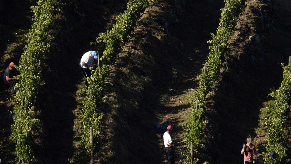 Foto: Viticultores en la vendimia en la Ribeira Sacra. (EFE)