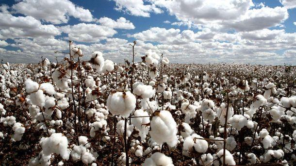 Foto: India ha pasado de importar a exportar algodón a todo el mundo gracias a la introducción de OGM