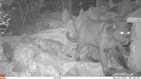 Cien años después encuentran un leopardo negro en África